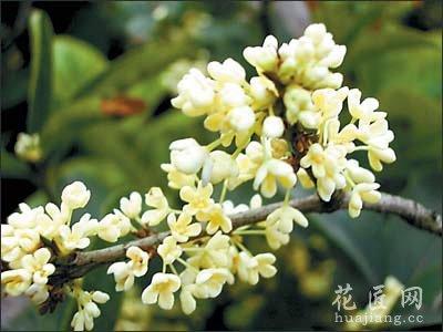 桂花品种常见介绍(图)