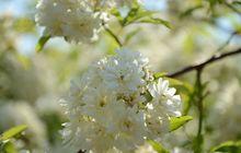 木香花图片