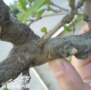 筒叶花月繁殖(图片)