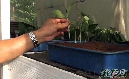 蓝莓扦插繁殖(图文)
