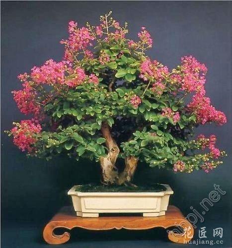 紫薇盆景的养护和修剪、造型