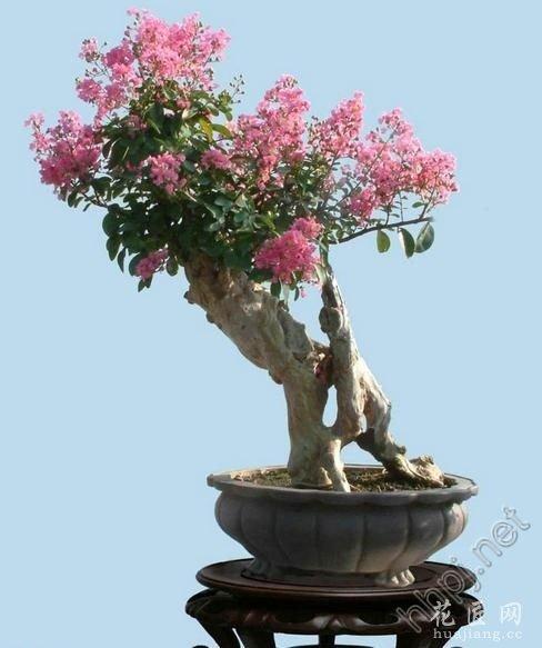 紫薇盆景怎样养护