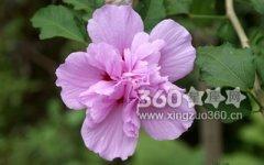 木槿花花语:坚韧、永恒的美丽、温柔的坚持