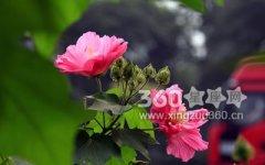 木芙蓉花的花语及其传说