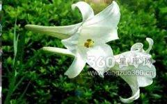 19朵百合花语是什么?