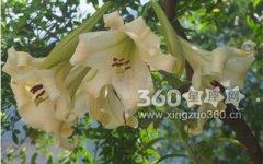3朵百合花语是什么?