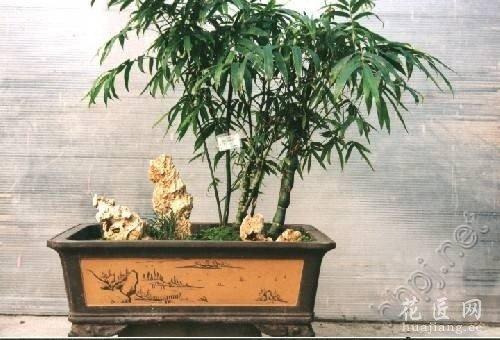 竹类盆景欣赏