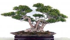 榕树盆景四季应如何养护?