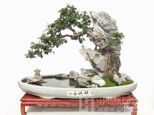 垂枝式榆树盆景