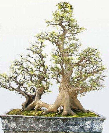 朴树盆景应如何制作(图片)