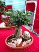 水培榕树盆景怎样制作?
