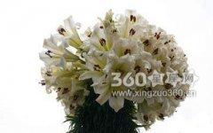 21朵百合花花语是什么?