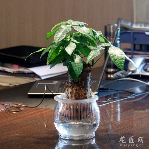 富贵竹图片_办公室适合养什么风水植物?_花匠网