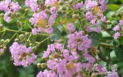 紫薇花的龙都娱乐:好运、雄辩、女性