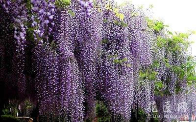 各种花的花语:紫藤花的花语是什么?