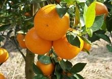盆栽柑橘  柑橘图片