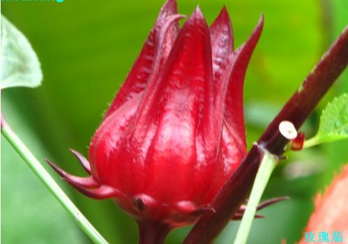 首页 花卉图片 观花植物 > 洛神花图片