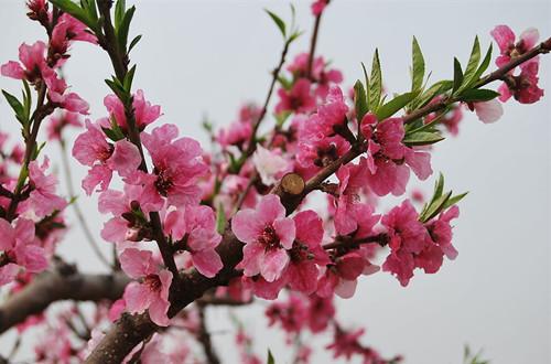 桃花图片(图)