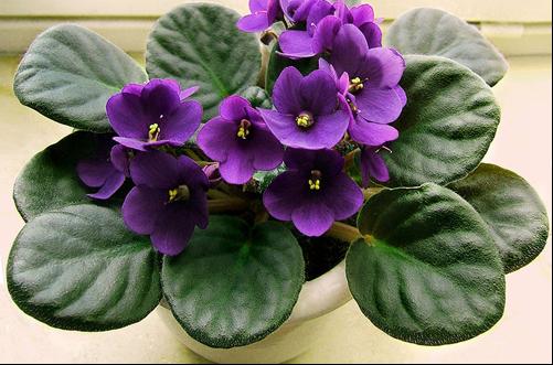 紫罗兰怎么养 如何养紫罗兰花(图)