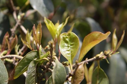 桂花树什么时候发芽 桂花树不发芽怎么办(图)