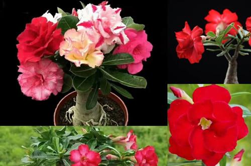高档盆花沙漠玫瑰的养护要点 三喜三忌要切记!