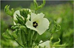 秋葵的阳台种植方法 秋葵病虫害防治(图)