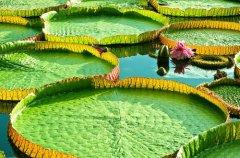 埃及的国花是什么花?睡莲(图)