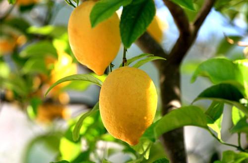 柠檬的繁殖方法有扦插和嫁接两种,其中柠檬常用嫁接这种方法来繁殖.
