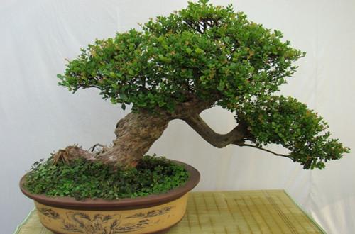 赤楠树桩盆景的制作方法
