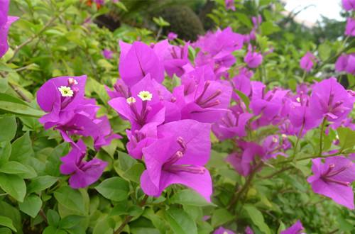 4、开花后修剪:   三角梅在花期落叶、落花较多,花后需整形修剪.