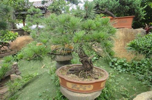 盆景制作 > 黑松怎样造型 黑松造型技巧(图)  黑松,松科常绿针叶树