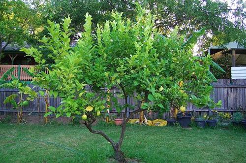 柠檬树怎么养 柠檬树能长多大(图)