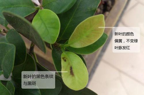 榕树盆栽叶子长黑斑怎么办?(图)