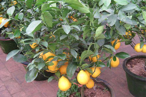 盆栽柠檬树叶子脱落的原因