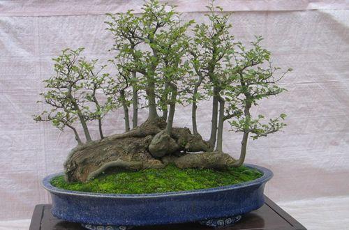 榕树盆栽造型技巧 小榕树盆景造型可选择修剪