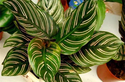 双线竹芋是一种很漂亮的观叶植物,因其白绿相间的花纹和宽大的叶片