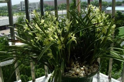 阳台上的兰花盆栽
