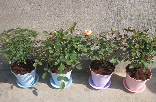 玫瑰花怎么种植 玫瑰花的种植方法(图)