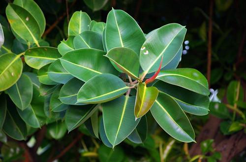 > 橡皮树掉叶子是怎么回事 怎么办(图)  解决方法:立即停止施肥,马上