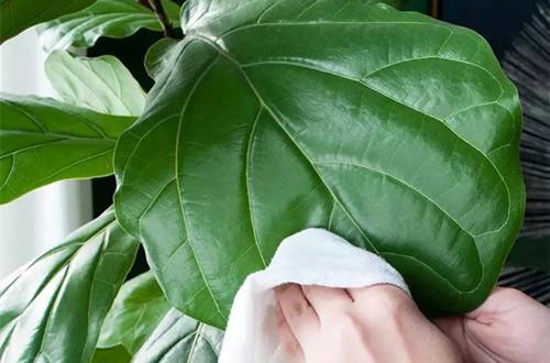琴叶榕叶子锈斑是怎么回事 怎么办(图)图片