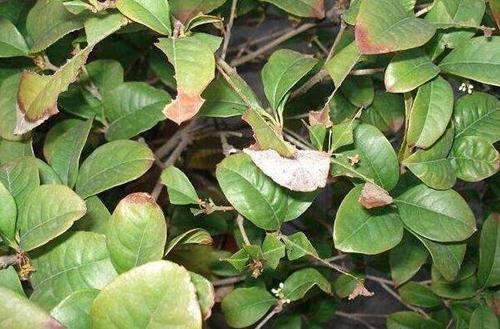 桂花叶子长锈斑是怎么回事 怎么办(图)图片