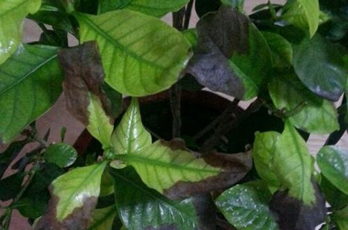 养花知识 花卉病虫害 > 栀子花叶子边缘发黑是什么原因 怎么办(图)