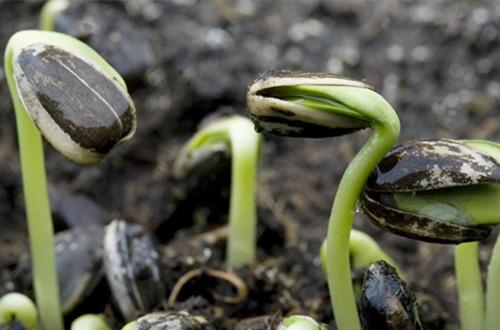 种子_向日葵种子怎么种植 向日葵种子的种植方法和注意事项
