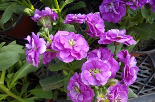 怎么種紫羅蘭 紫羅蘭種子的種植方法和注意事項(圖)