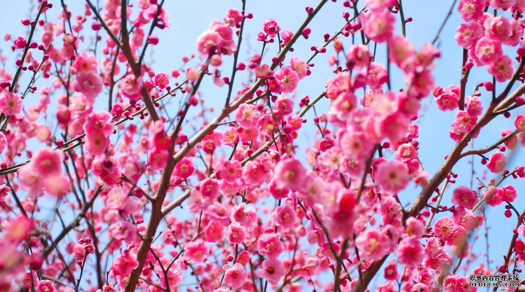 梅花花语是什么?