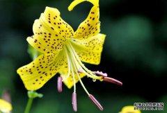 百合花室内养殖的方法