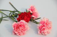 康乃馨花语