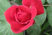 玫瑰花病虫害与防治