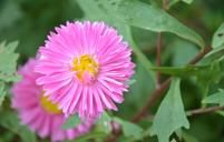 翠菊的繁殖与养殖