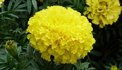 万寿菊的花语是什么